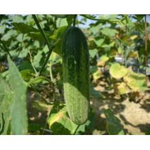 HCU05 Данг 35 до 40см в длину,китайский гибрид F1 огурец семена овощей семена