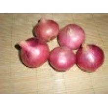 2016 Crop Fresh Onion on Sale