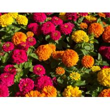 Online Exporter for Potmarigold Calendula Can flower seeds be planted in summer supply to Senegal Wholesale