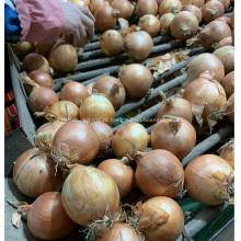 exportação de cebola amarela fresca para a Indonésia