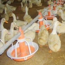 Système d'alimentation d'oie / canard d'équipement de volaille