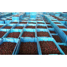Individual Quick Freezin-IQF Organic Blackberry Zl-020