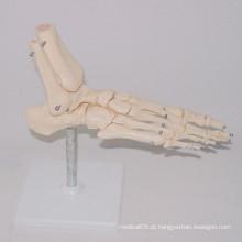 Modelos de Esqueleto do pé humano do ensino médico (R020920)