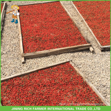 Extrémité de Goji Berry séchée en Chine Goji Berry 380g grains / 50g Au Brésil