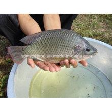 Замороженная целая круглая рыбка Черная тилапия