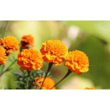 Marigold Lutein Super Lutein för Eyes Supplements