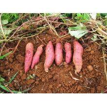 fresh sweet potato/ FRESH SWEET POTATO/ sweet potato power