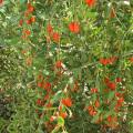 Medlar Nature Ningxia Organic Wolfberry