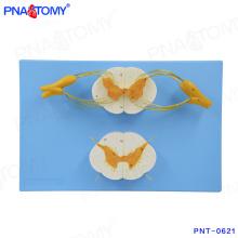 PNT-0621 hochwertige Rückenmark und Spinalnerven Modell
