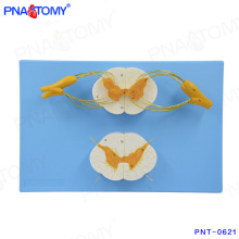 PNT-0621 high quality Spinal cord and spinal nerves model