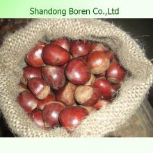 Importieren Sie frische Kastanie von Shandong