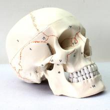 SKULL05 (12331) Medizinische Wissenschaft Menschen Schädel beschriftet Modelle