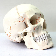 SKULL05 (12331) Medical Science Humans Crânio Modelos Rotulados