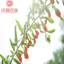 Wolfberry / Lycium Barbarum / Goji Berry khỏe mạnh