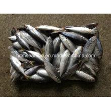 14-18PCS/Kg Frozen Horse Mackerel