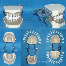 Естественный размер Съемная модель анатомии зубов для ухода за зубами (28 зубов)