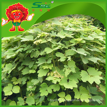 Natural kudzu root with Favorable price best quality