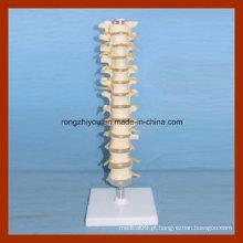 Tamanho da vida plástica Vertebra torácica Modelo da coluna espinhal