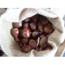 Nouvelle récolte Châtaigne fraîche (# 40-50)