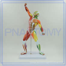 PNT-0342 colored HUMAN body muscular MODEL