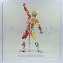 ПНТ-0342 цветные мышечная модель человеческого тела