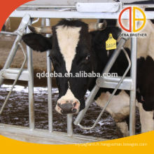 Vache bovins, headlock