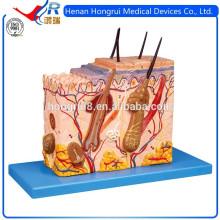 ISO-Haut-Struktur verstärktes Modell, Haut-Anatomie-Modell
