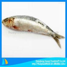 Vente en gros de sardine congelée