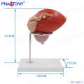 PNT-0569-2 PVC medical enlarged plastic people organ bladder model
