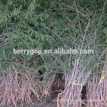 Live Goji Berry Plant / Árbol orgánico / Alta tasa de supervivencia