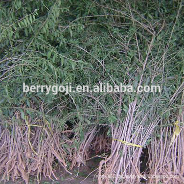 Live Goji Beeren Pflanze / Bio-Baum / Hohe Überlebensrate