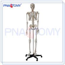 Modelo de esqueleto PNT-0101h 180cm y tema de ciencia médica