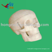 ISO Small Skull model, medical anatomical skull model