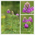 Milkvetch seco, Radix astrágalo, Astragalus membranaceus, mongholicus, chrysopterus, floridus, tongulensis, tibetano