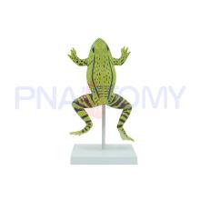 Modèle de grenouille réaliste élargi PNT-0820