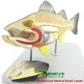 Оптовая ветеринарная модель 12011 анатомические модели рыб с перемещенными части органа
