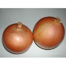 Cebolla amarilla fresca con tamaño medio para MID-East Market