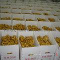 Nouvelle récolte de légumes gingembre frais