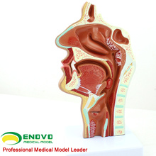 THROAT04 (12508) Modelo de secção de cavidades nasais de patologia, tamanho normal, modelos de cavidades nasais
