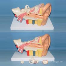 Modelo mediano de ouvido anatômico médico de tamanho médio (R070105)