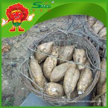 Bio kultiviert Kudzu Fresh Chinese Kudzu zum Verkauf
