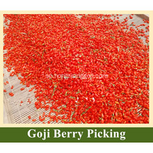 Nya Goji Berry Tree Goji Berry