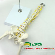 SPINE08 12381 Medical Science Table Display Flexível Espinha Esqueleto Educação Modelo Pelve e Meia Perna