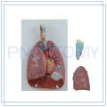 PNT-0430 life size 7 parts Laringe coração e pulmão modelo