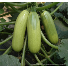 HSQ04 Paishe verde F1 calabaza híbrida / semillas de calabacín