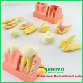 TOOTH21(12599) 4 Four Time Enlarge Dental Tooth Structure Anatomical Demo Model