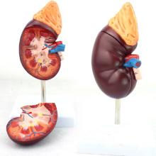 KIDNEY05 (12434) Riñón normal 2 Parte 1.5 vez Agrandar Tamaño natural Anatomía médica Urinaria