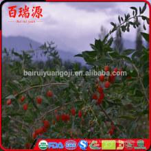 Lycium barbarum proprieta goji berries chinese medicine where to find goji berries in the grocery store