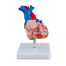 I-Heart Heart Size Model Teaching Medical