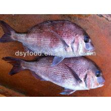 Gefrorene rote Seabreamfische